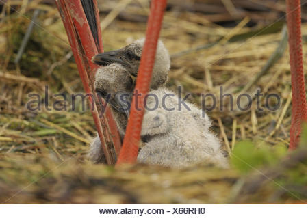White stork, Ciconia ciconia, young birds, nest, - Stock Photo