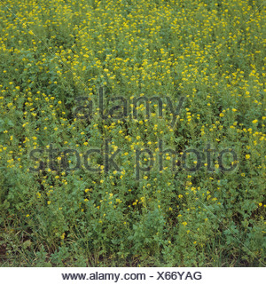 Flowering white mustard Sinapis alba used as a cover crop and green manure Nottinghamshire - Stock Photo