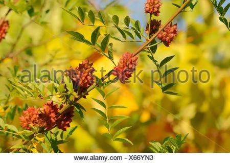 Licorice (Glycyrrhiza glabra), branch with fruit, Germany - Stock Photo