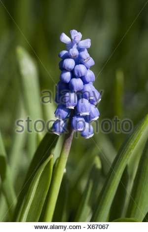 italian grape hyacinth, muscari botryoides - Stock Photo