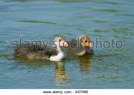 Eurasian Coot (Fulica atra), young birds swimming, Thuringia, Germany - Stock Photo