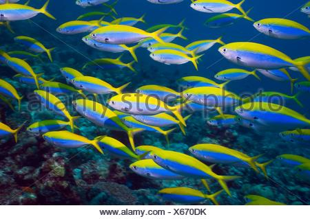 Yellowtop fusilier Caesio xanthonota school over coral reef  Maldives - Stock Photo