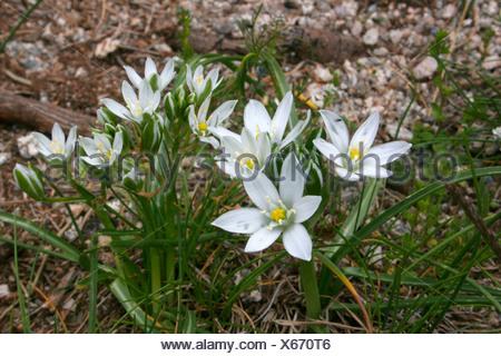 sleepydick, star of bethlehem (Ornithogalum umbellatum), blooming, France, Massif Central, Cvennes - Stock Photo