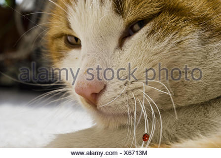 cat with ladybird on the wiskers - Stock Photo