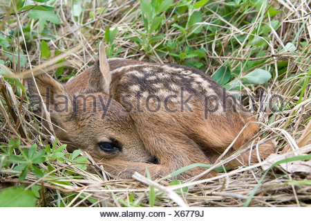 Europe, Roe Deer, Fawn, Capreolus capreolus, young, grass, animal, - Stock Photo
