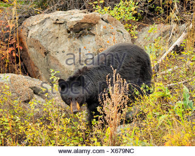 American black bear (Ursus americanus), in rocky area, USA, Wyoming, Yellowstone National Park - Stock Photo