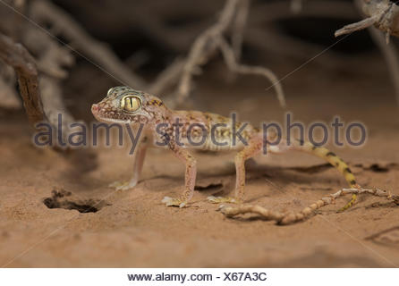 Middle Eastern short-fingered gecko (Stenodactylus doriae), Sharjah, UAE - Stock Photo