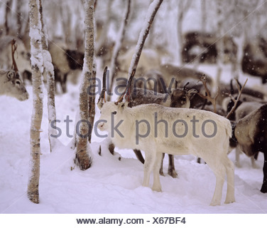 white reindeer - standing in snow / Rangifer tarandus - Stock Photo