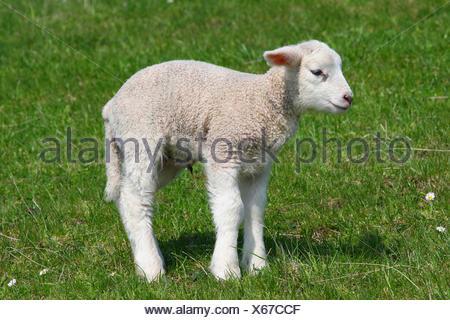 Sheep (Ovis ammon f.aries), lamb, Schleswig-Holstein, Germany - Stock Photo