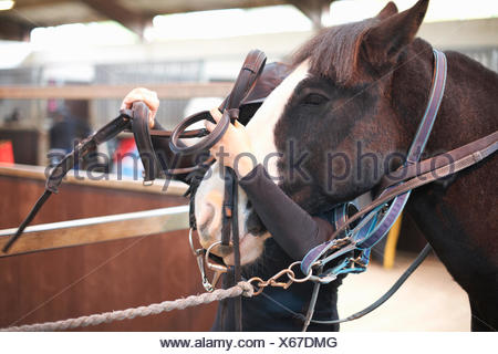 Young woman putting bridle on horse - Stock Photo