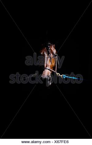 Close-Up Of Tied Up Brown Horse Against Black Background - Stock Photo