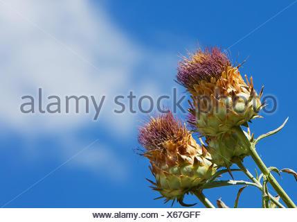 blue, wild, flora, botany, thistle, parachute, artichoke, edible, herb, seed, - Stock Photo
