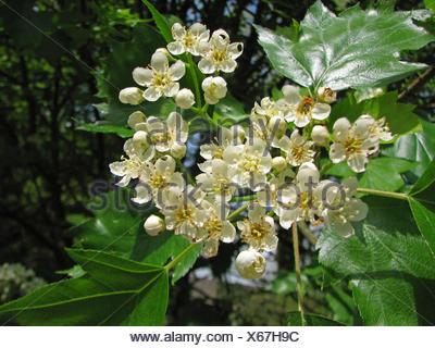 wild service tree (Sorbus torminalis), blooming - Stock Photo