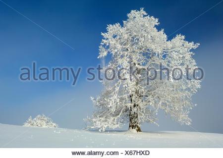 common oak, pedunculate oak, English oak (Quercus robur), old tree in winter with hoar frost, Germany, Baden-Wuerttemberg, Biosphaerengebiet Schwaebische Alb - Stock Photo