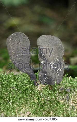 Dead Man's Fingers - Xylaria polymorpha - Stock Photo