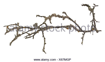 Dry tree branch isolated - Stock Photo