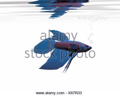 BLUE BETTA - Stock Photo