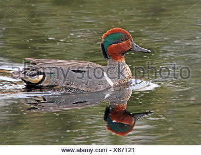 A male Green-winged Teal, Anas crecca, swims in a pond at Prince Albert National Park, Saskatchewan - Stock Photo