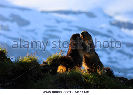 alpine marmot (Marmota marmota), strength competition of two animals standing errected face to face at a shady place in a mountain meadow, Austria, Hohe Tauern National Park - Stock Photo