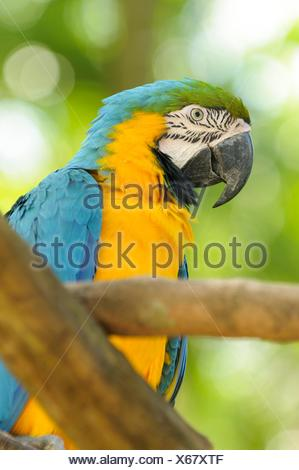 Blue-and-yellow macaw (Ara ararauna), also known as the blue-and-gold macaw, Yumka Park, Villahermosa, Tabasco, Mexico, America - Stock Photo
