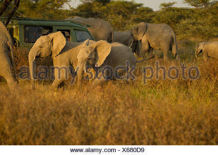 Elephants surround safari vehicle - Stock Photo