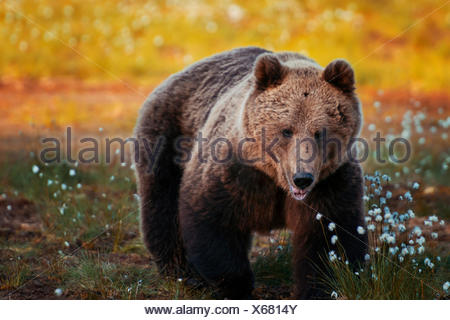 Brown bear in forest, Finland - Stock Photo