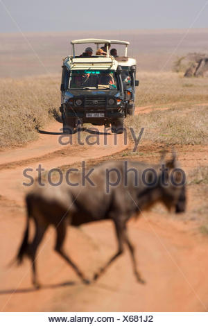 blue wildebeest, brindled gnu, white-bearded wildebeest (Connochaetes taurinus), on migration watched by safari tourists, Tanzania, Serengeti NP - Stock Photo