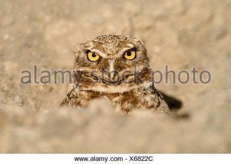 Monterey Bay California USA Burrowing owl in burrow Athene cunicularia - Stock Photo