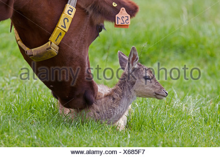 fallow deer (Dama dama, Cervus dama), fallow deer calf in a pasture together with domestic cattle, Germany, Schleswig-Holstein - Stock Photo