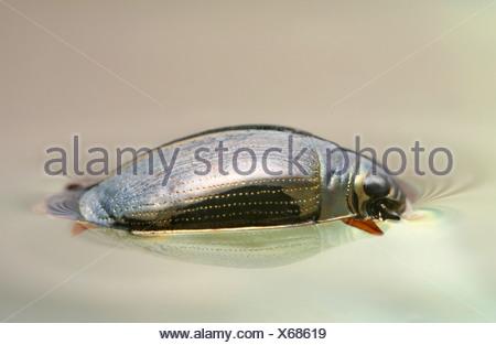 common whirligig beetle (Gyrinus substriatus, Gyrinus natator), on the water surface, Germany, Thueringen - Stock Photo