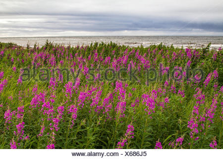 Fireweed, blooming sally, Rosebay willow-herb, Great willow-herb (Epilobium angustifolium, Chamerion angustifolium), bluehend at the coast, Russia, Kola, White Sea - Stock Photo