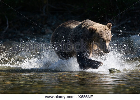 Grizzly bear (Ursus arctos horribilis), fishing for salmon (Oncorhynchus sp.), coastal British Columbia, Canada. - Stock Photo