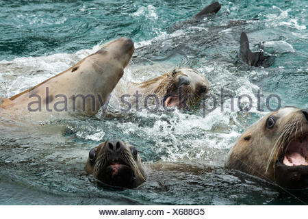 Close up of Stellar sea lions barking and playing in the water. - Stock Photo