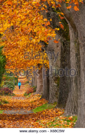 Maple trees along west 10th ave, Vancouver, British Columbia, Canada - Stock Photo