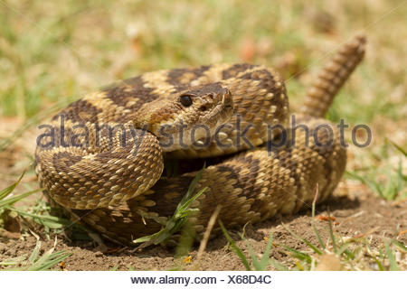 Arizona Black Tailed Rattlesnake, Crotalus molossus, Sonoran Desert, Arizona, United States, USA, - Stock Photo