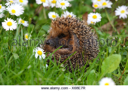 Western hedgehog, European hedgehog (Erinaceus europaeus), on meadow with daisies - Stock Photo