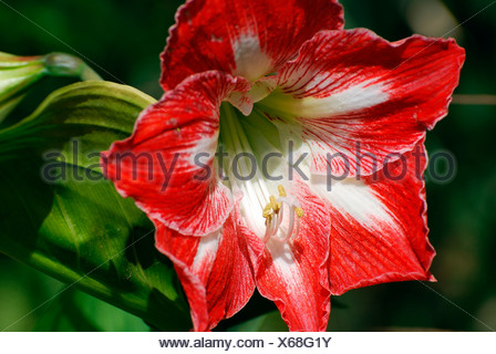 Red Amaryllis originally from South Africa South Western Cape - Stock Photo