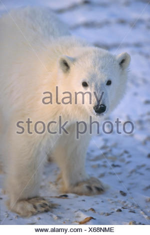 Polar Bear cub, Ursus maritimus, portrait near Churchill, Manitoba,  Canada - Stock Photo