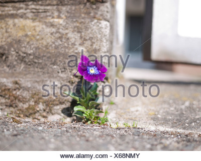 Garden pansy (Viola wittrockiana) growing on a wall, wallflower - Stock Photo