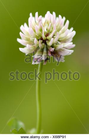 Alsike clover (Trifolium hybridum), inflorescence, Switzerland - Stock Photo