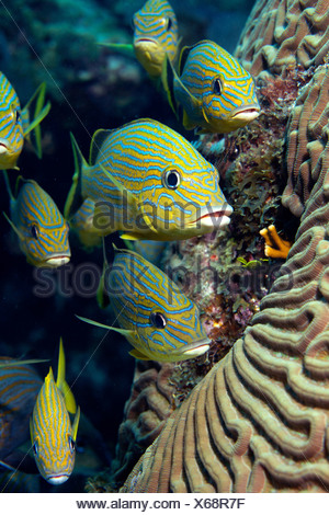 School of Blue striped Grunt - Stock Photo