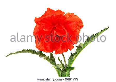 Oriental poppy, Latin Papaver oriental, isolated on a white background - Stock Photo