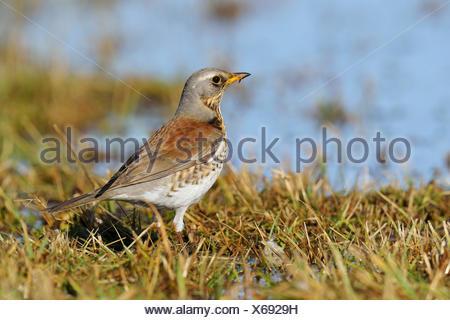 Fieldfare (Turdus pilaris), Mazovia, Poland - Stock Photo