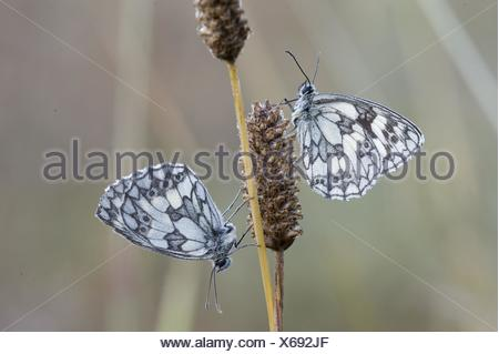 marbled white butterflies - Stock Photo