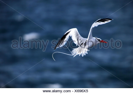 red-billed tropic bird (Phaethon aethereus), flying, Ecuador, Galapagos Islands - Stock Photo