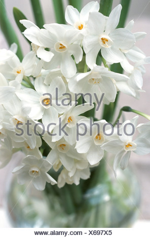 Paperwhites Close Up Of Ziva Paperwhite Flowers In A Glass Vase