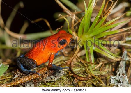 Strawberry poison dart frog, Oophaga pumilio Costa Rica, Central America, - Stock Photo