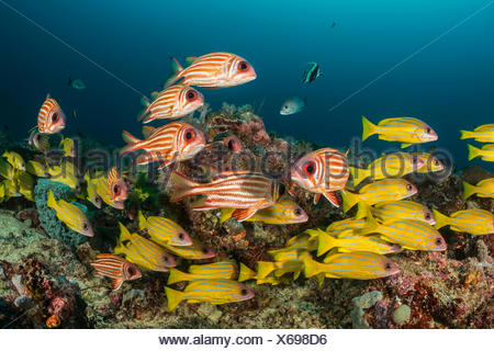 Shoal of Five-lined Snapper and Red Squirrelfish, Lutjanus quinquelineatus, Sargocentron rubrum, Raja Ampat, Indonesia - Stock Photo