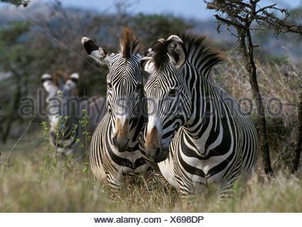 GREVY'S ZEBRA equus grevyi, SAMBURU PARK IN KENYA - Stock Photo