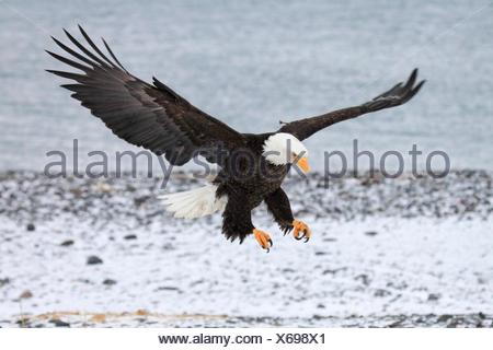 Bald Eagle, Haliaeetus leucocephalus, Weisskopfseeadler, Homer, Kenai Peninsula, Alaska, USA. - Stock Photo